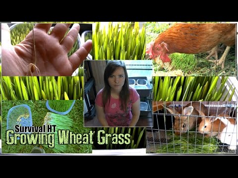 Growing Wheat Grass For Juicing Or Fodder
