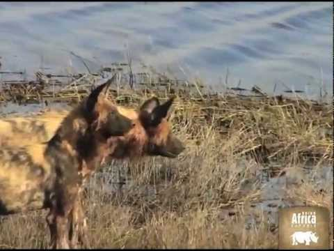 See Wild Dogs in Africa in action at Chobe River