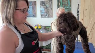How to groom the Australian Labradoodle head, the Big Rock Way
