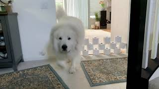 Great Pyrenees Toilet Paper Gate