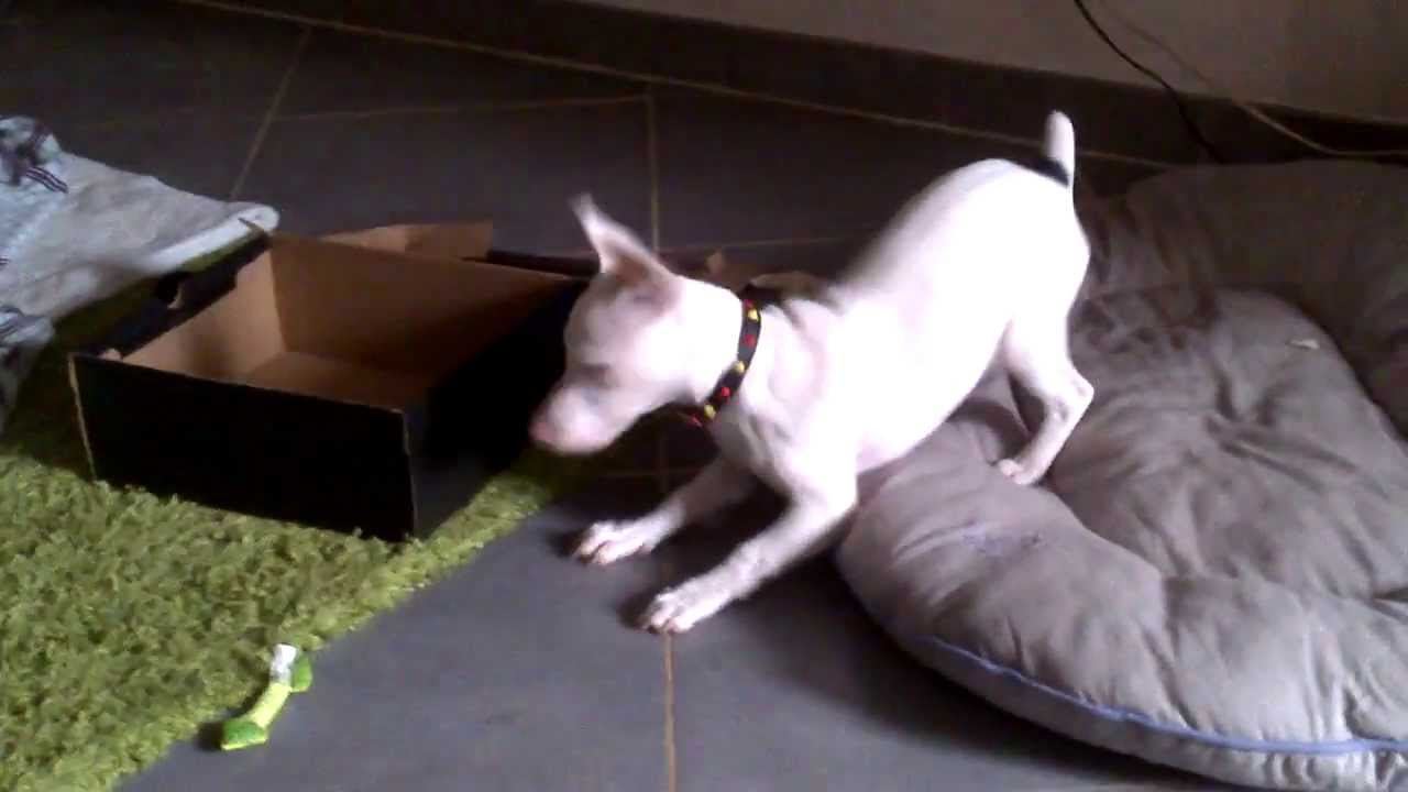 how to stop a jack russell from play biting
