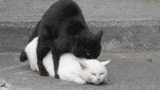 Коты ебутся