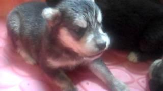 Goberian Puppies For Sale Siberian Husky & Golden Retriever