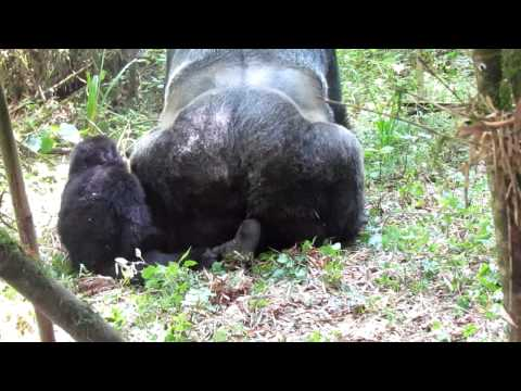 Morgen - Baby Gorilla Catches Parents Doing It