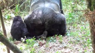 Baby walks in on gorillas doin' it