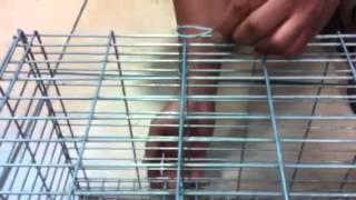 Como montar jaula trampa para gatos, perros y otros animales