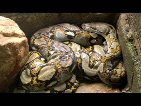 Walking Into a Cage Full of Reticulated Pythons | Python Reticulatus | Krabi Thailand HD