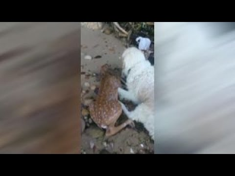 Dog rescues deer fawn struggling in water