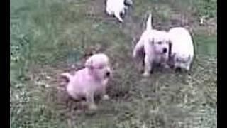 cachorros labrador grecia 25 días