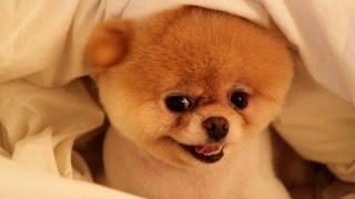 Собачка Boo – самая популярная собака на Фейсбуке