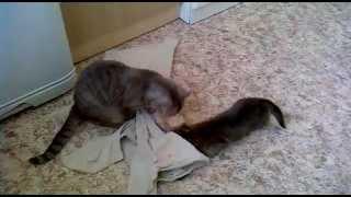 Продается вислоухий котенок, Новосибирск