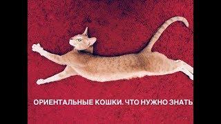 Повадки ориентальных кошек, громкий голос, отношения с хозяином. Наша история