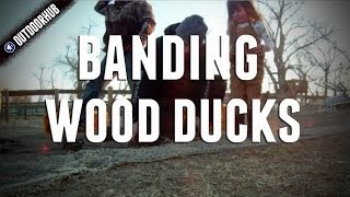The Process Of Banding Wood Ducks
