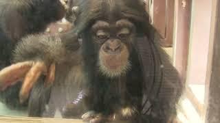 Download Video チンパンジー 双子の赤ちゃん 67 Chimpanzee twin baby MP3 3GP MP4