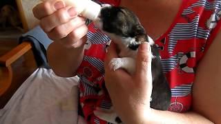 Няшность этого видео зашкаливает! Кормление щенка из соски.