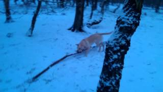 Playing In The Snow With Stick 4 Times Length Of His Body Golden Labrador Retriever