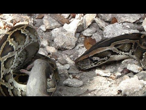 Python vs Python 01, Two Pythons Fighting