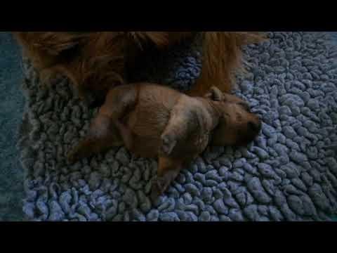 Norfolk Terrier Welpen - van de Erdmanntjes - 13. Wurf - 26.09.2018