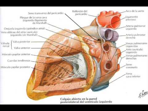CICLO CARDÍACO🎥 - Explicación Fácil 🩺(Fisiología / Cardiología) from YouTube · Duration:  32 minutes 16 seconds