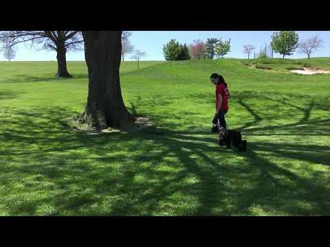 "Giant Schnauzer Puppy ""Quigley"" 16 Wks Public Park Obedience Lesson"