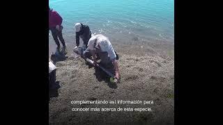Temaikèn - Proyecto Tiburón Gatopardo