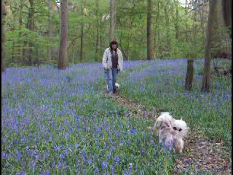 Dandie Dinmont Terrier Dogs Walking in a Bluebell Wood in the Spring in England