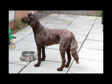 portuguese water dog short clip