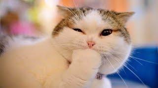 Смешные кошки и животные 2019. Новые приколы с котами смешные коты приколы 2019 Funny Animals 83