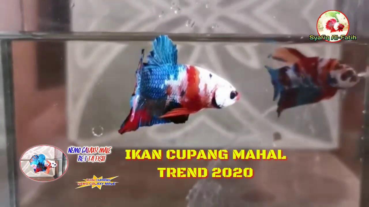NEMO GALAXY MALE BETTA FISH ( IKAN CUPANG TREN 2020 - YouTube