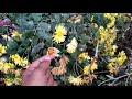 गुलदावरी के बीज फूल से कैसे पाए /How to Collect Chrysanthemum Seeds - 13 Dec /Mammal Bonsai