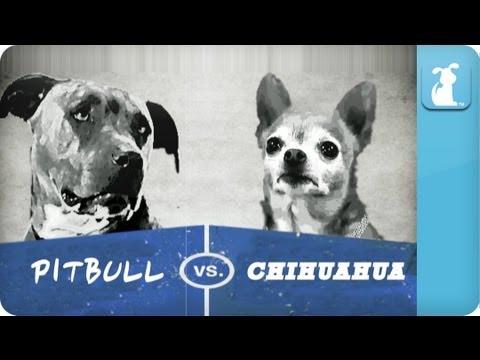 Pet Vs. Pet Rap Battles: Chihuahua vs Pitbull