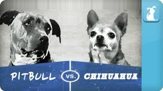 Pet Vs. Pet Rap Battles: Chihuahua vs Pitbull