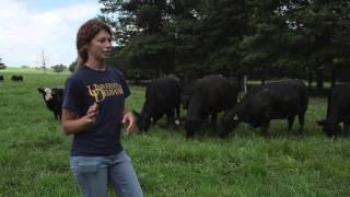 Kathryn Williams interns at Herr Angus farm