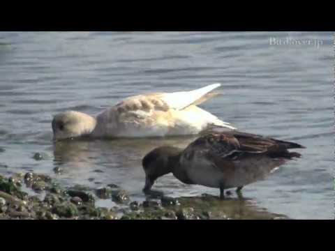 白いヒドリガモ  Wigeon (Leucism)