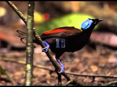 25 Wilson's Bird of Paradise Facts: Indonesia's Diphyllodes