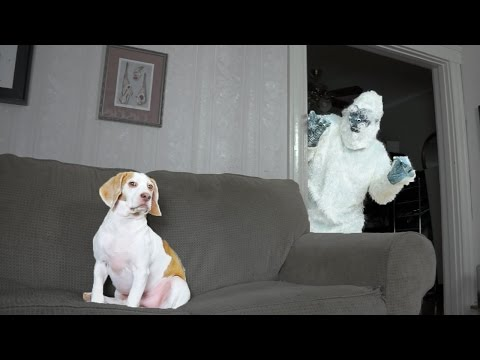 Dog Surprised by Yeti Prank: Cute Dog Maymo