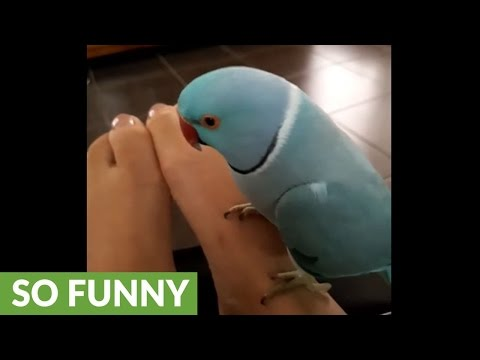 Talkative parrot has full conversation with owner's feet