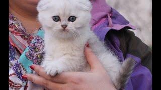 Афанасий Уайт Блэйз - котенок скоттиш-фолд