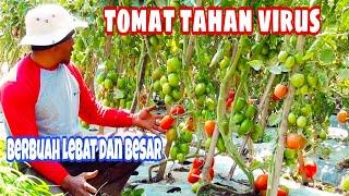 Download Video Tanaman tomat tahan virus berbuah lebat dan besar kuat transportasi jarak jauh MP3 3GP MP4
