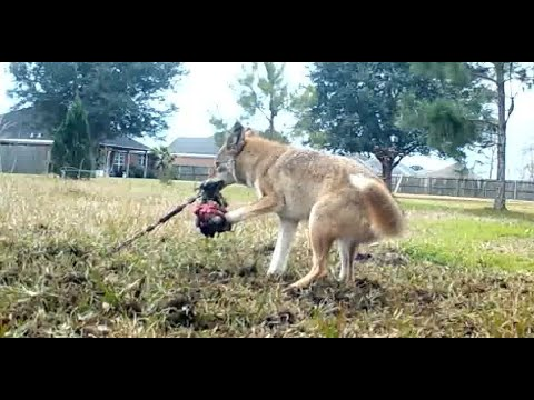 Catching The Backyard Coyote