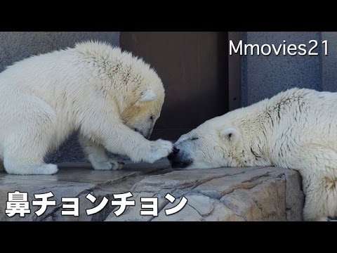 Polar Bear cub was tired play 遊び疲れて母の元へ ホッキョクグマ親子