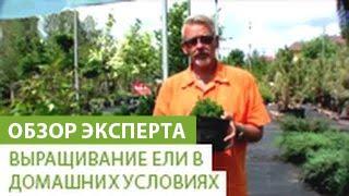 видео Ель Пицея глаука коника (picea glauca conica): фото, уход в домашних условиях, посадка, сизая елка дома в горшке