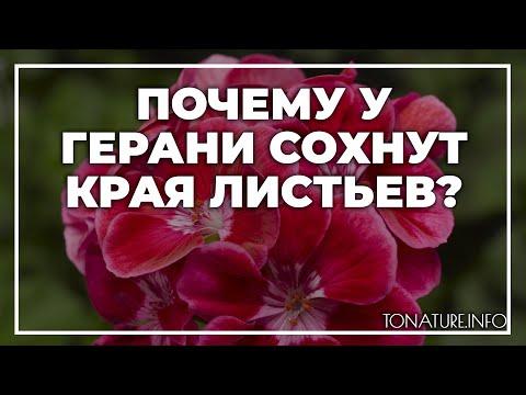 Почему у герани сохнут края листьев? | toNature.Info