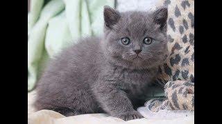 Милый серый котенок умывается и мурчит.