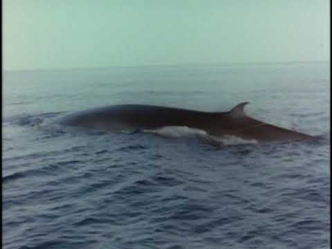 The Undersea World Of Jacques Cousteau 04of18 Whales