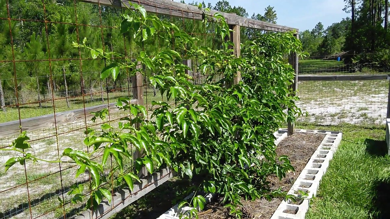 Passion Fruit Trellis Pictures