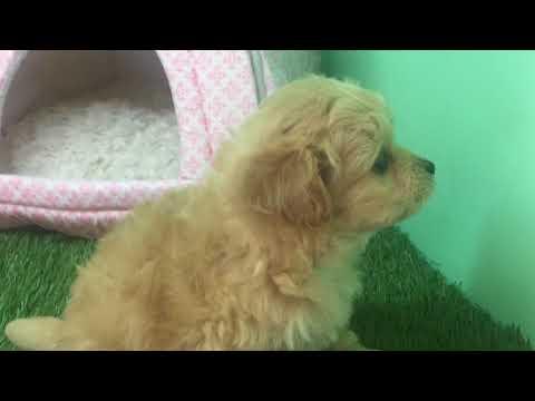 Maltipoo Puppy - Male - Asher