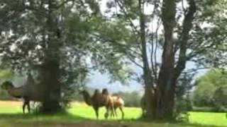 Climate Change, Camels 2 in the Alps