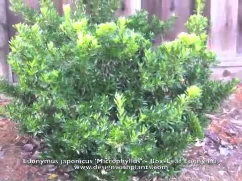 Euonymus japonicus 'Microphyllus' - Box-Leaf Euonymus