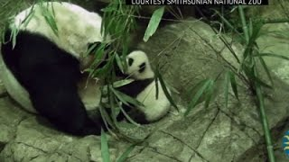 Baby Panda BeiBei Takes First Steps